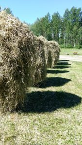 Valmiiksi kuivan heinänkin saa näköjään ihan hyvin seipäälle. Ja että olikin innokkaita heinän seivästäjiä paikalla.